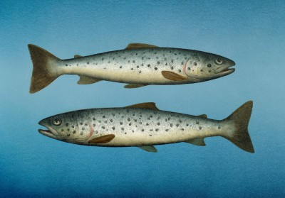 Donald PROVAN, contemporary artist - Two Small Seatrout